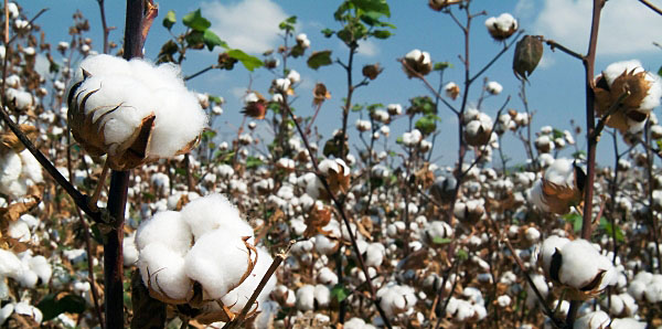 Egyptian cotton fibre is small in diameter but quite strong